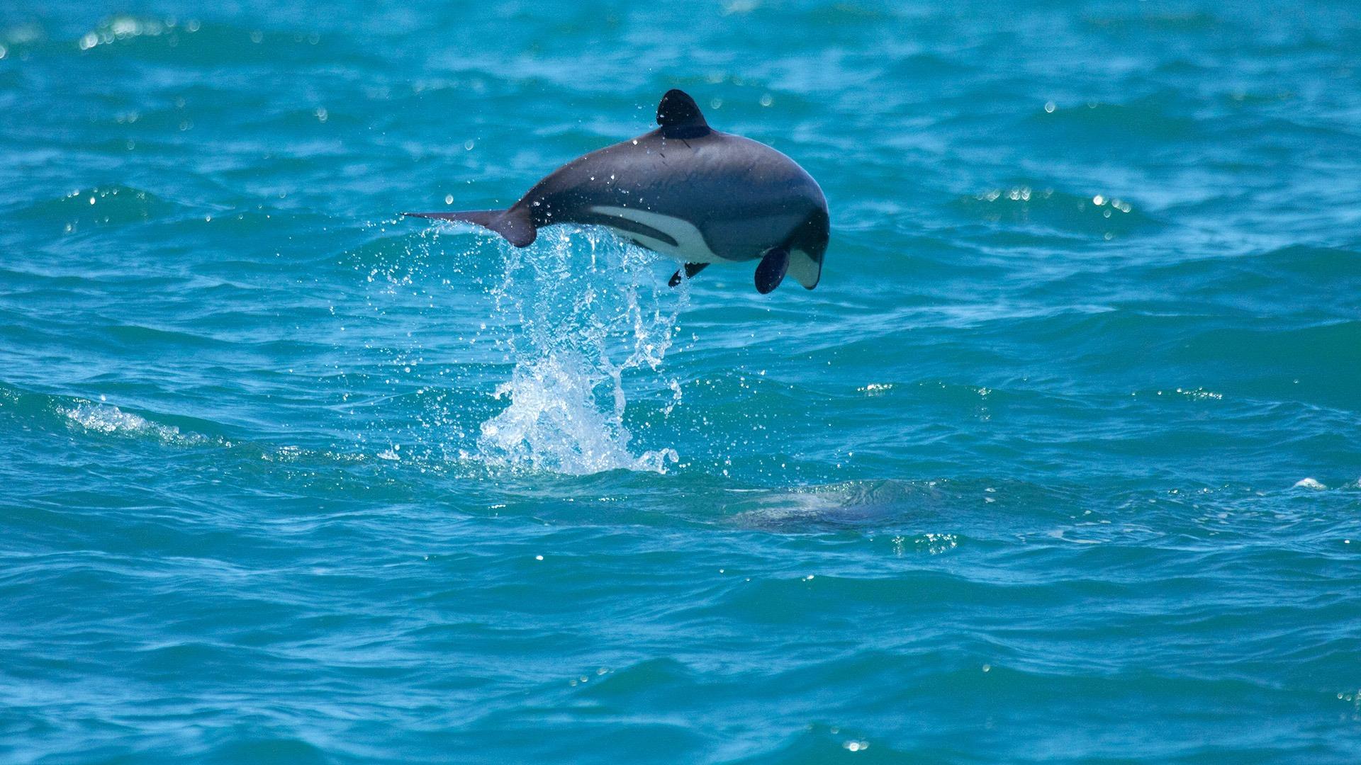 Hector's dolphin jumping, Akaroa Harbour, Banks Peninsula, New Zealand