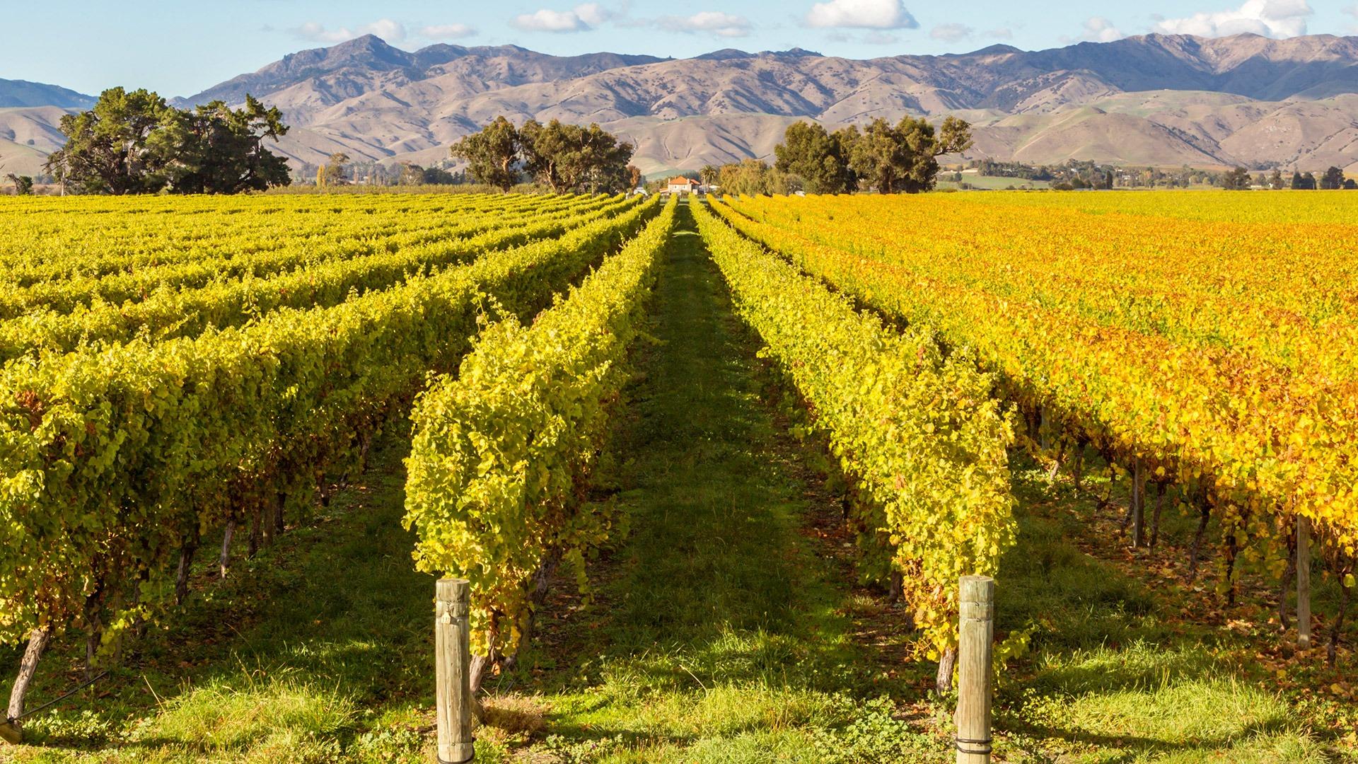 Vineyards in Blenheim, South Island, New Zealand