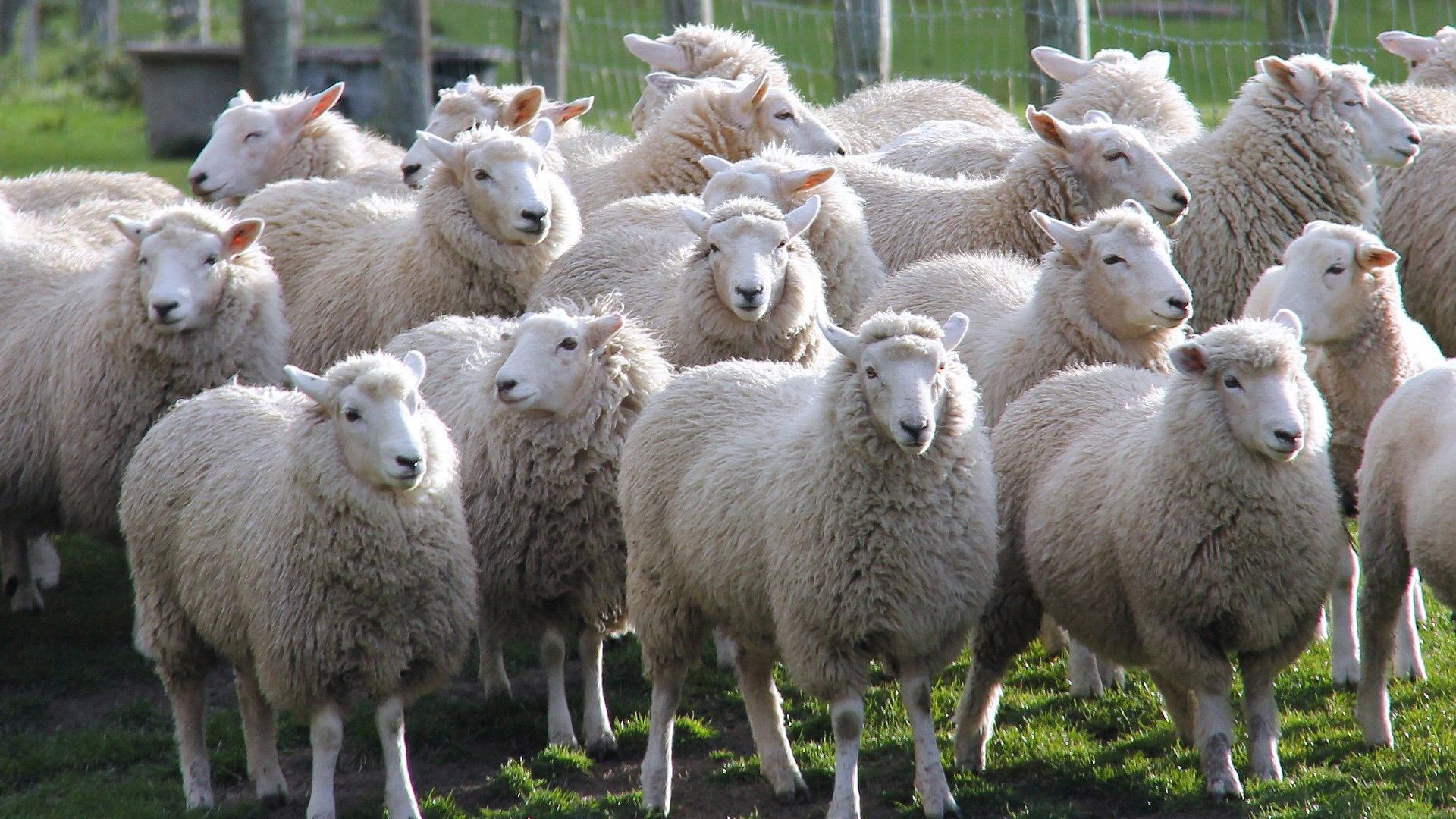 Sheep farm on New Zealand's South Island