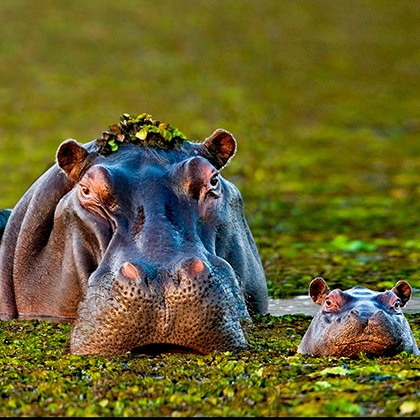 A mother and baby hippo in the Okavango Delta, Botswana