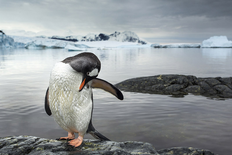 A gentoo penguin grooming itself in Antarctica