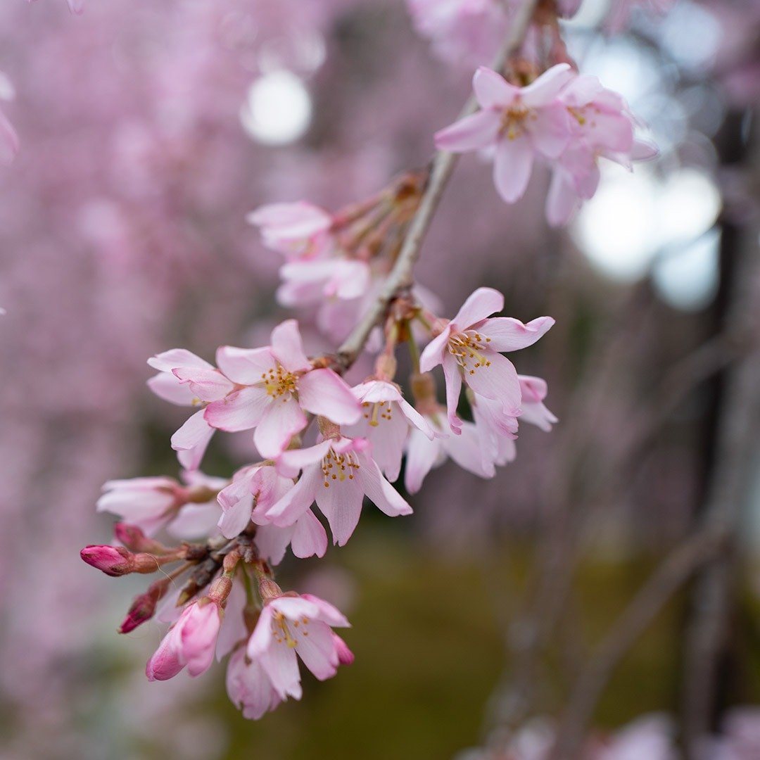 Cherry blossoms in bloom in Kyoto, Japan
