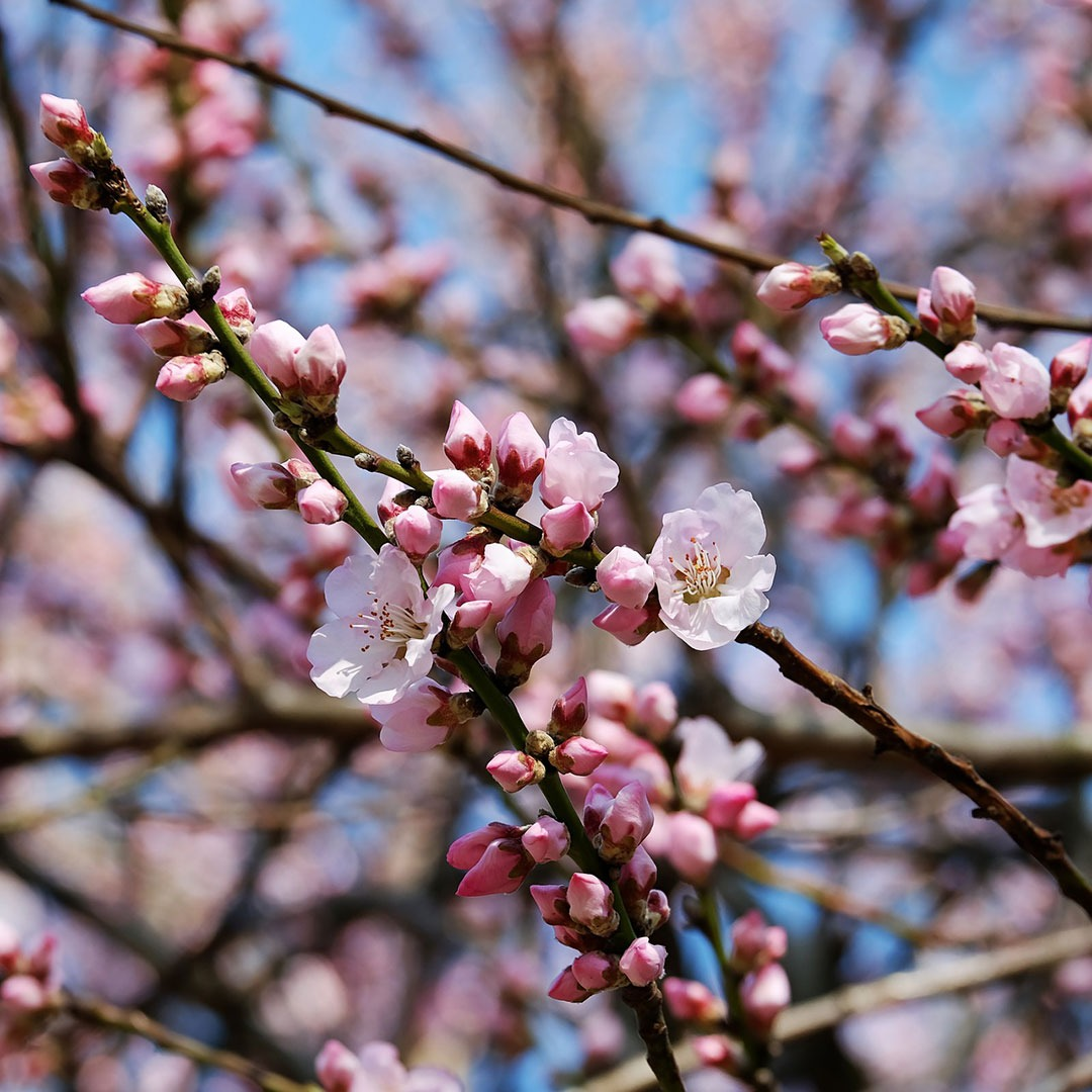 Budding cherry blossoms in Japan