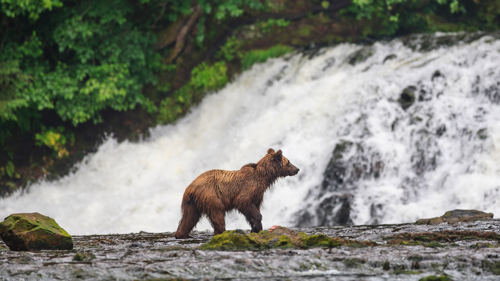 A brown bear looks for salmon on Chichagof Island, Tongass National Forest, Alaska