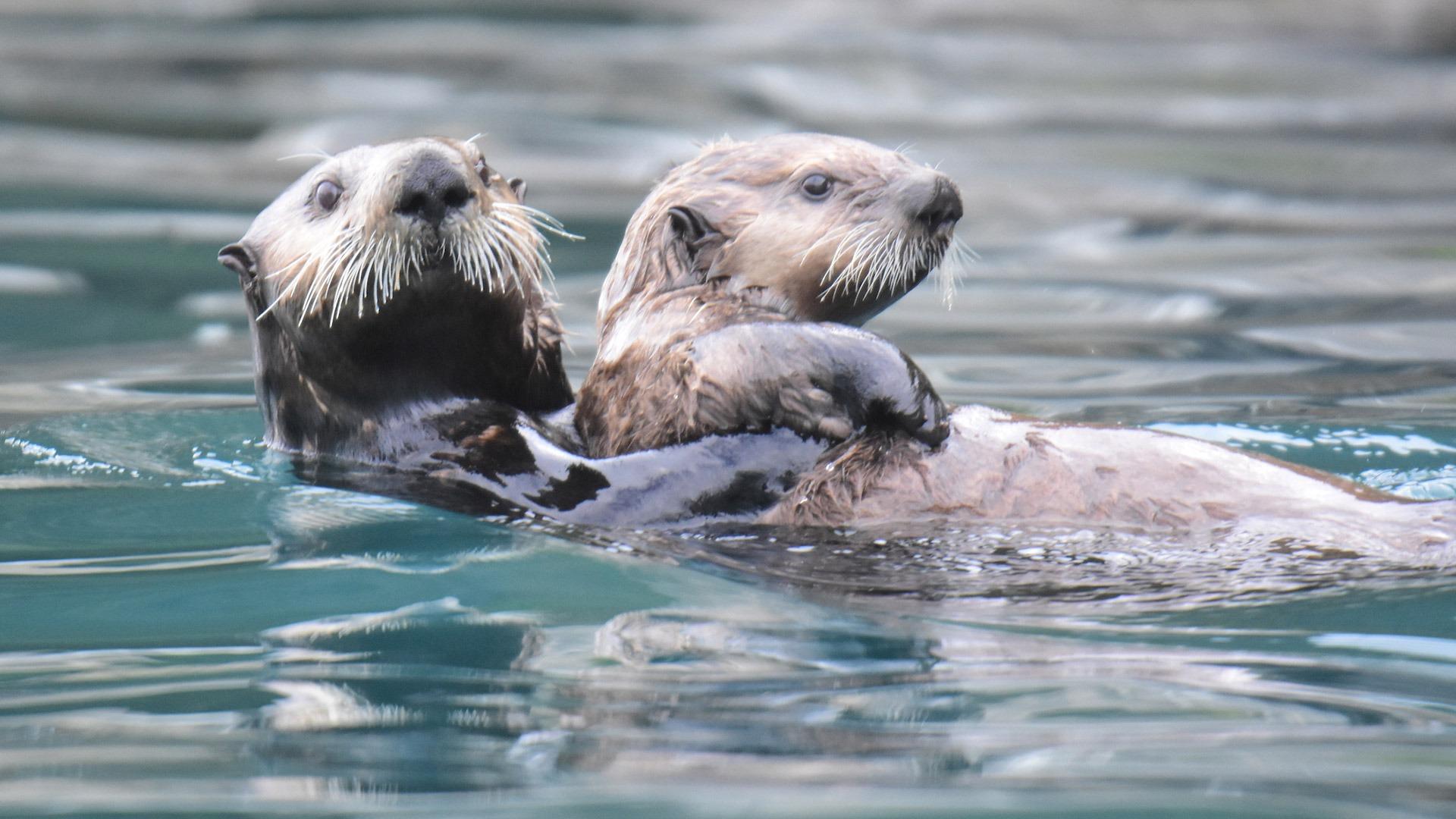 Playful sea otters in Alaska