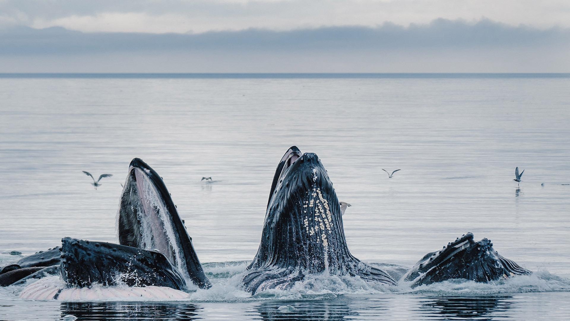 Whales bubble net feeding in Alaska