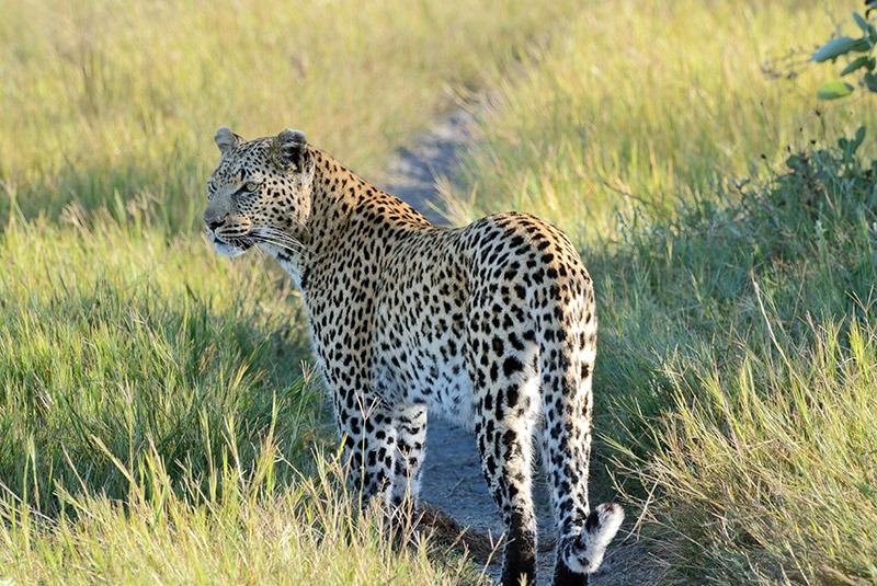 A leopard walks through grassland in the Okavango Delta, Botswana