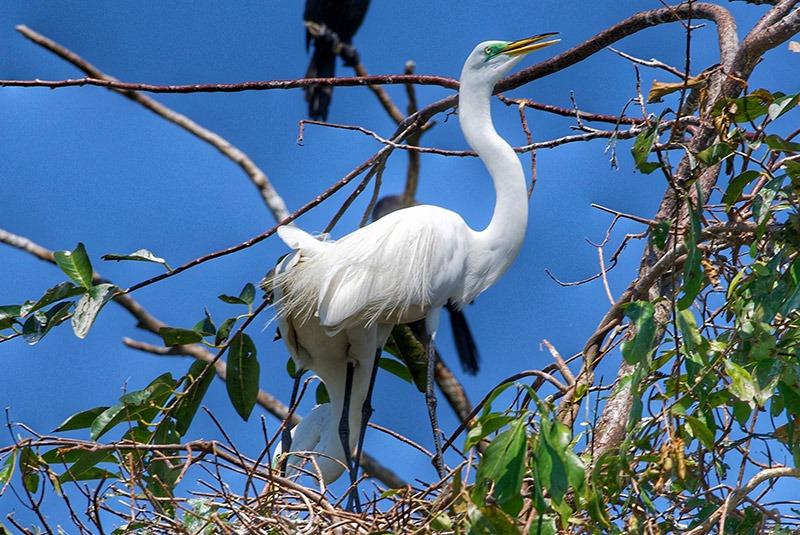 Egret in a tree in Rio Dulce, Guatemala