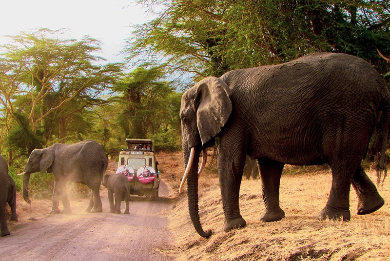 A herd of elephants crosses a dirt road in the Ngorongoro Crater, Tanzania