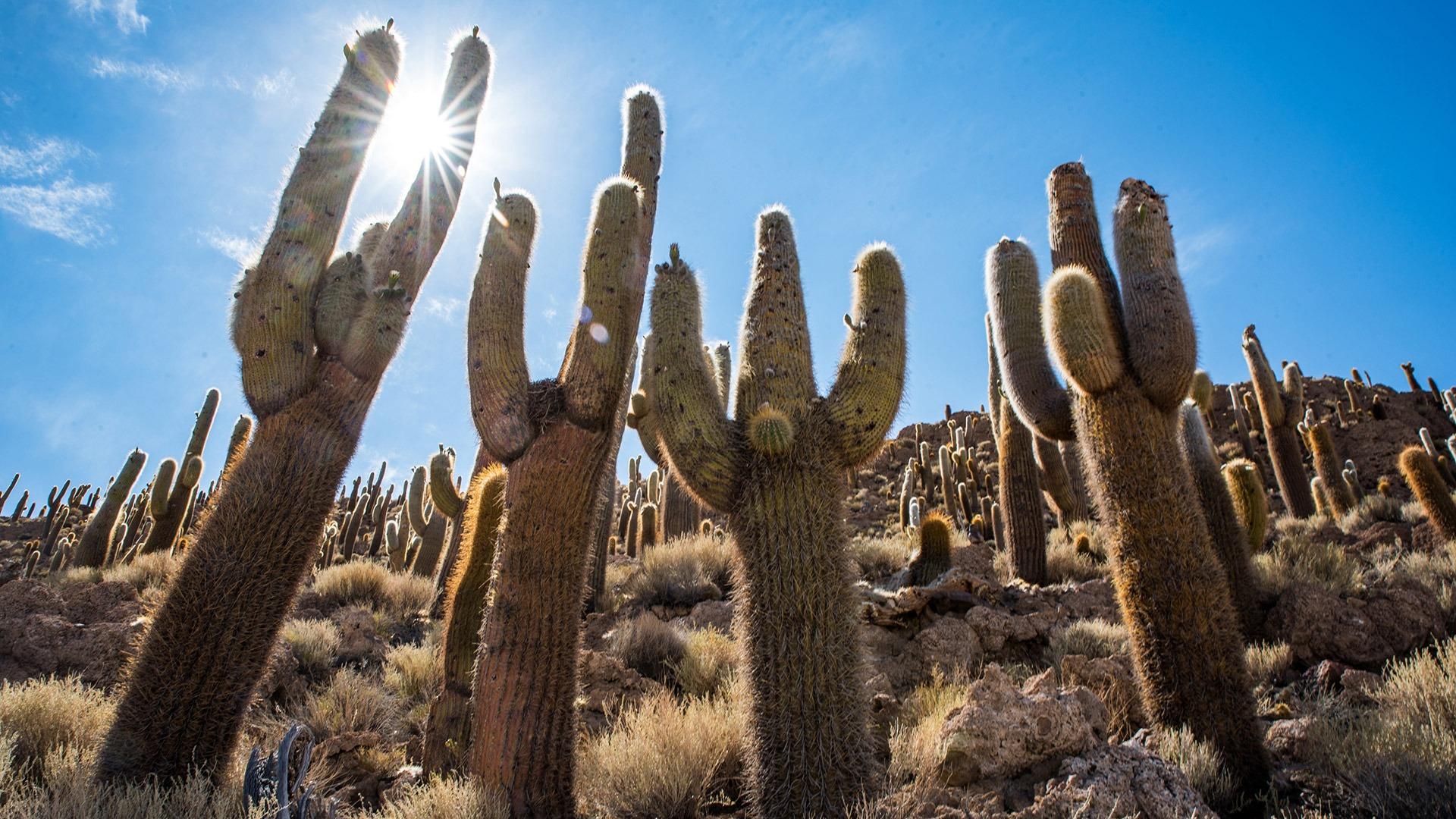 Towering cacti on Incawasi Island on Salar de Uyuni, Bolivia