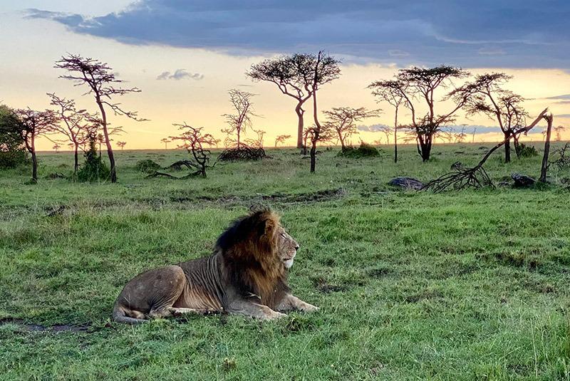 Lion on the savannah at dusk, Kenya