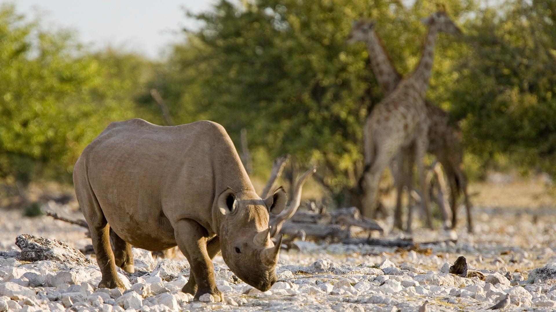 Black rhino and giraffe in Etosha National Park, Namibia