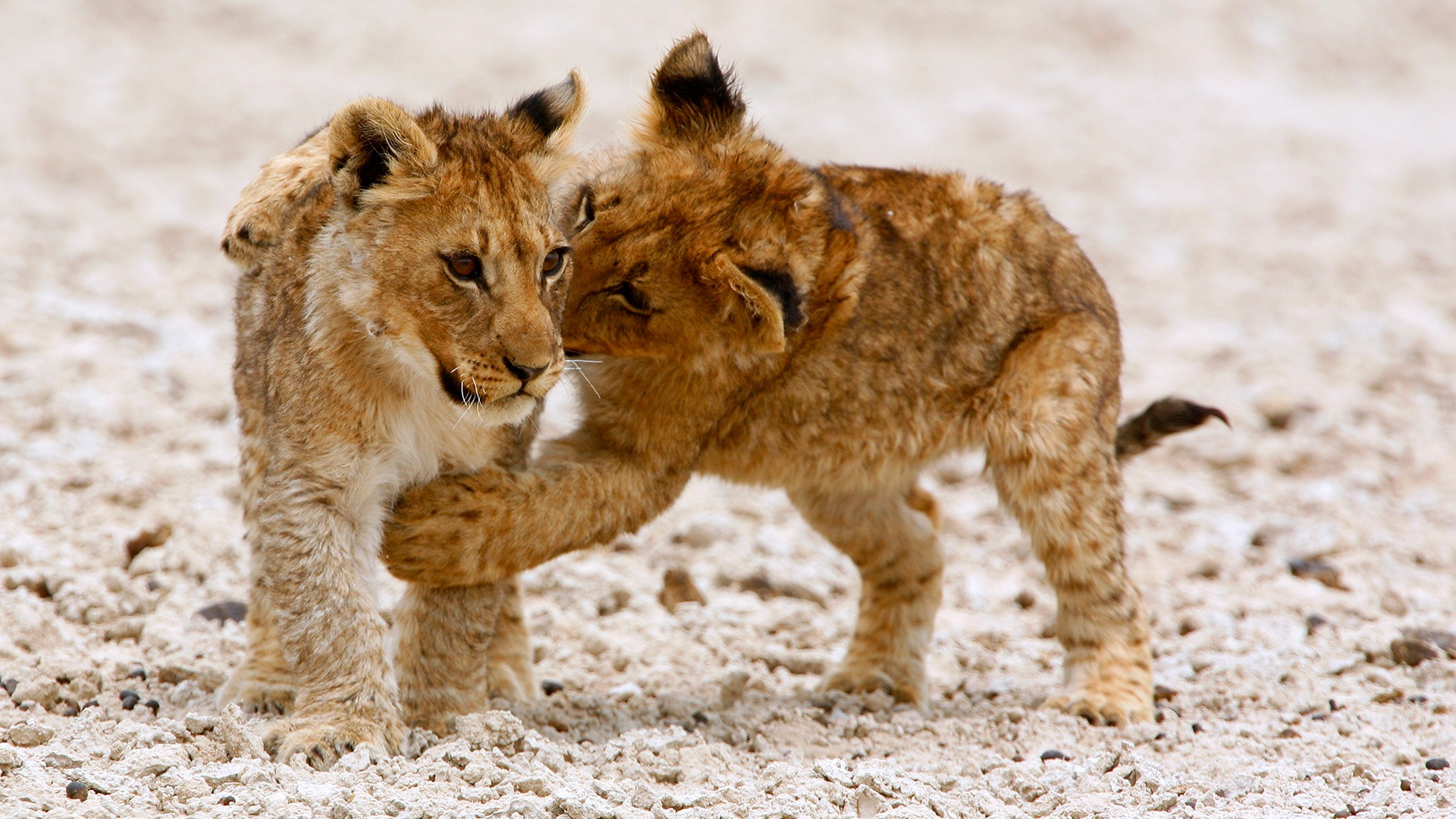 Lion cubs playing in the Etosha Pan, Namibia