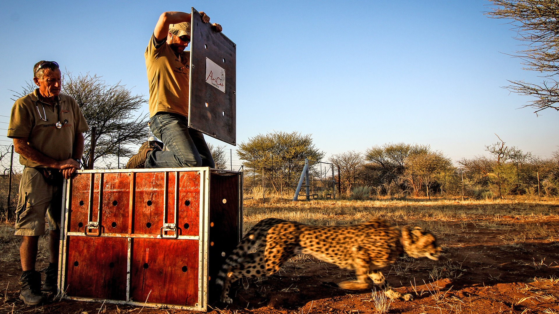 AfriCat Foundation worker release cheetah into the wild, Namibia