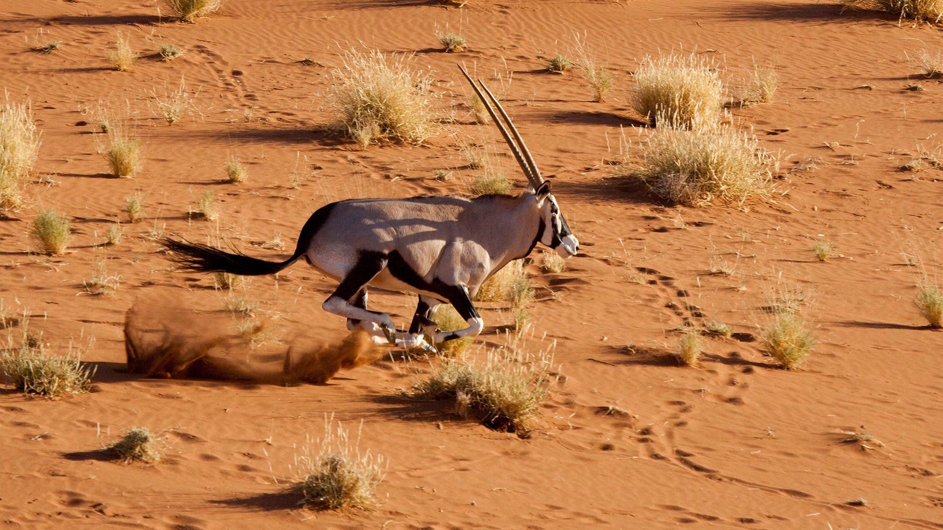 Oryx running in Sossusvlei, Namibia