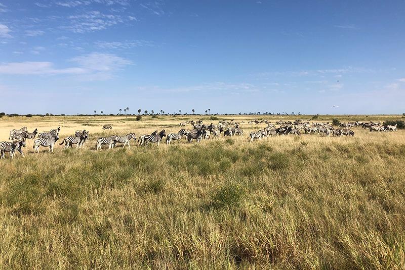 Zebra migration near Jack's Camp, Botswana