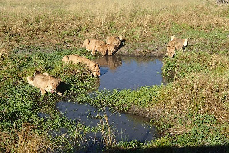 Pride of lions at a watering hold in Okavango Delta, Botswana