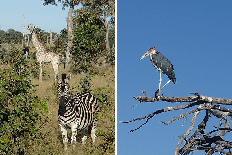 Widlife and birdlife on safari from Vu mbura Plains, Okavango Delta, Botswana