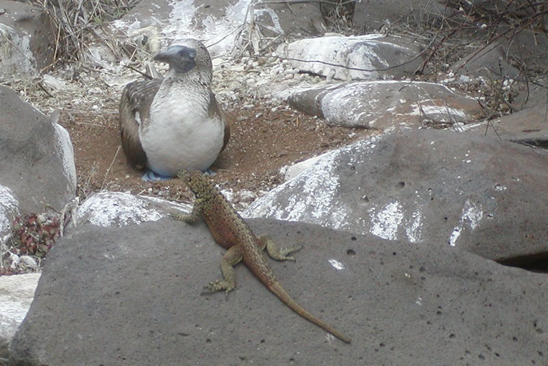 Blue footed booby and lizard in the Galapagos