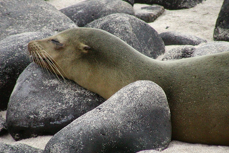 Sea lion resting on rocks and sand in the Galapagos