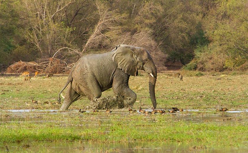 Elephant in marshland in Zakouma National Park, Chad