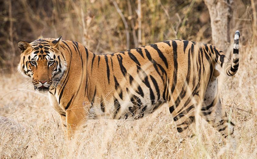 Bengal Tiger in Kanha National Park, India