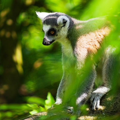 A ring-tailed lemur seen through the trees in Madagascar