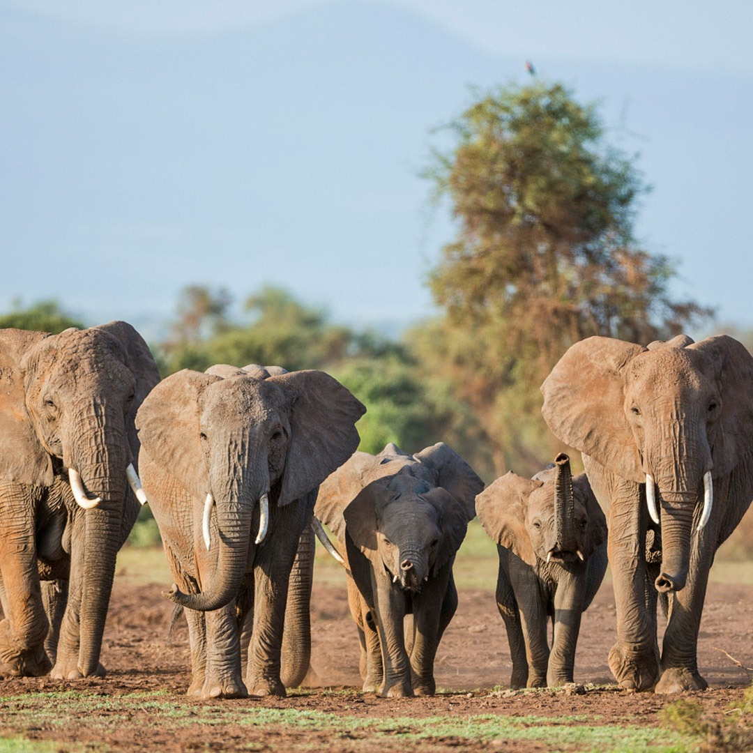 A family of elephants on the move in Amboseli National Park, Kenya
