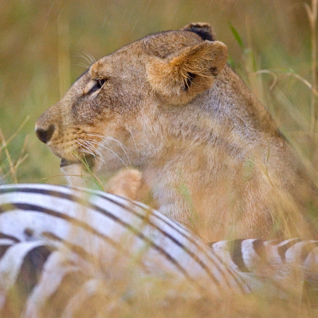 A lionness with her zebra kill, Kenya