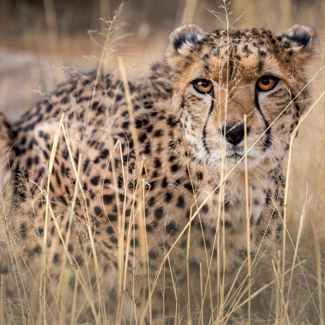 Cheetah stalking prey in the grass, Masai Mara, Kenya