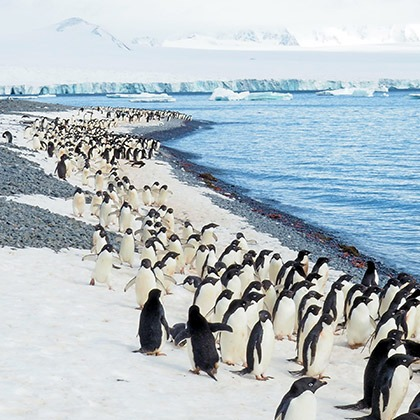 Marching adelie penguins at Brown Bluff, Antarctica
